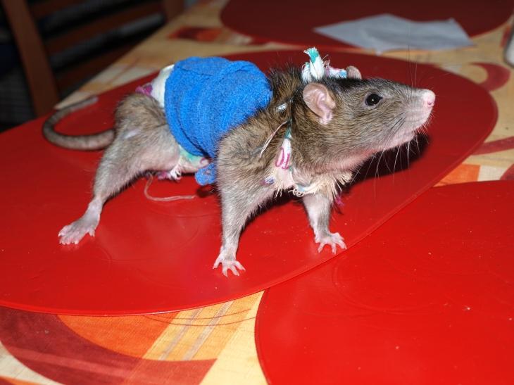 лабиринта для крысы своими руками